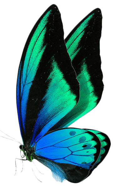 Schmetterling Branding